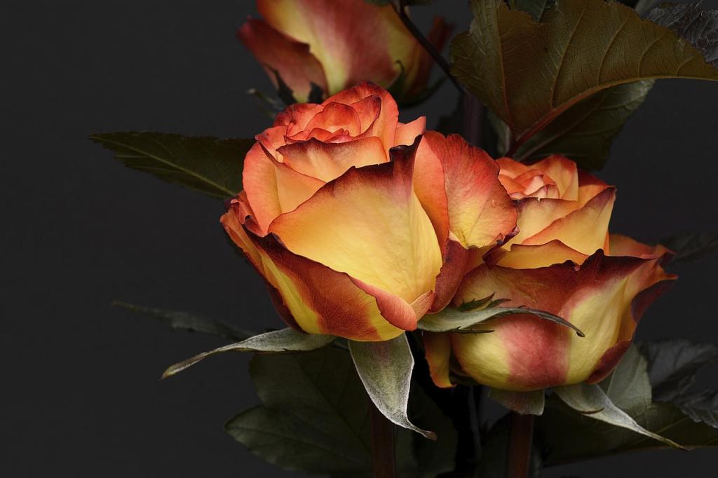 Name:  rose-3063284_1280.jpg Views: 80 Size:  57.5 KB