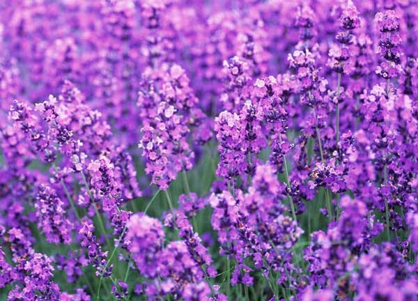 Name:  Lavender-Pillow-Offers-You-.jpg Views: 168 Size:  50.7 KB