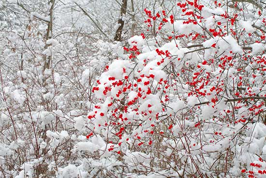 Click image for larger version.  Name:Winter-berry.jpg Views:438 Size:64.5 KB ID:10240